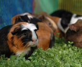 Baby Guina Pigs In The Sun