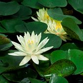 Water Lily And Lily Pads (Nymphaeaceae)