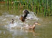 Conflict In Duck Family 3.