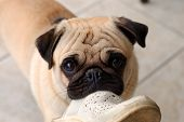 stock photo of gotcha  - Photo of a pug biting a slipper - JPG
