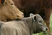 Mama Cow With Calf poster