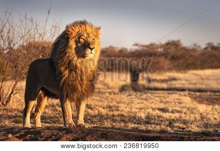 poster of Single Lion Standing Proudly On A Small Hill