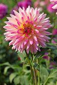 Pink Dahlia Flower In The Botany Garden poster