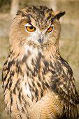 Quizzical Eurasian Eagle Owl
