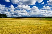 pic of gleaning  - Golden ripe barley field landscape harvest autumn - JPG