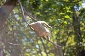 picture of coatimundi  - coati jumping from branch to branch in a zoo - JPG