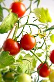foto of tomato plant  - Fresh red tomatoes are healthy food  - JPG
