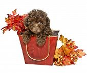 picture of chocolate poodle  - Chocolate Poodle Puppy with fall leaves on a white background - JPG