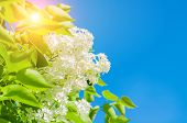 Spring Flower Background With Spring White Lilac Flowers On The Background Of The Blue Sky, Colorful poster