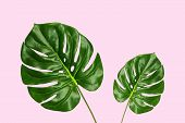 Tropical Palm Monstera Leaves Isolated On Pink Background, Top View. Summer Palm Fresh Foliage Minim poster