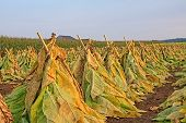 picture of tobacco barn  - Tobacco plants cut - JPG