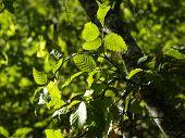 Green sheet, bright and beautiful, unusual, a bush, the freshening green