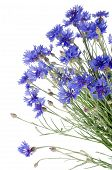 Beautiful Blue Cornflower