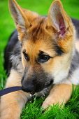 pic of seeing eye dog  - A German Shepard puppy chewing on his leash as he lay in the grass - JPG