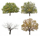autumn trees  isolated on white background.