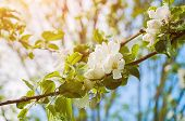 Spring Flowers Of Apple Tree Blooming In The Spring Garden - Sunny Spring Garden Landscape Scene poster