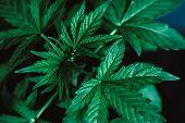 Marijuana Leaves, Young Beautiful Plant Medical Marijuana, Macro Cannabis Beautiful Background, Indo poster