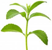 stock photo of substitutes  - Full focus of Stevia rebaudiana - JPG