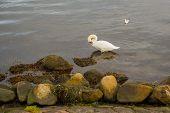 Copenhagen, Denmark: White Swan In The Water. Beautiful Panoramic View From The Waterfront. Copenhag poster