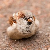 House Sparrow, Passer domesticus, foraging