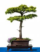 Conifer Cyprus Cedar As Bonsai Tree