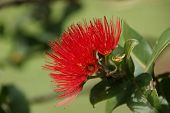 image of angiosperms  - Beautiful Hawaiian Red Ohia Lehua Flower in Bloom - JPG