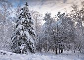 Winter Landscape . Forest In The Snow. The Branches Of The Trees Are Covered With A Thick Layer Of F poster