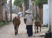 vietnamesische Frau mit Wasserbüffel