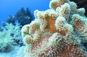Colorful Coral Reef At The Bottom Of Tropical Sea, Sarcophyton Leather Coral, Underwater Landscape poster