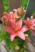 image of asiatic lily  - Asiatic Lily with blooms and buds on a wooden background - JPG