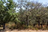 Grove With Cork Oaks, Primary Source Of Cork For Wine Bottle Stoppers And Other Uses poster