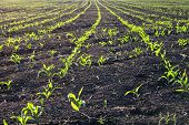 Bottom View Of Fresh Rows Of Corn Plants That Have Risen Recently Young poster