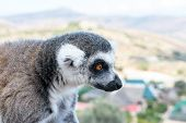 Portrait Of Ring-tailed Lemur, Lemur Catta In A Zoological Garden. poster