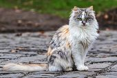 A Cute Tricolor Cat Sits On A Track And Looks At The Photographer. Domestic Cat Outdoors. Close-up. poster