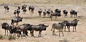 Herd Of Black Wildebeests Standing Around And Watching. One Zebra In This Herd. Nice Scene, Etosha N poster