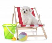 Young Bichon Frise In Front Of White Background poster