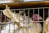 Close Up On White Turkey In Cages In The Transport Truck, The Bad Conditions And Inhumane Livestock  poster