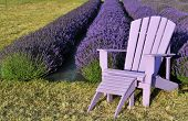 image of lavender field  - purple lawn chair in lavender field in a farm in sequim washington - JPG
