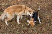 English Beagle Puppy And Akita Inu Puppy Are Playing In The Autumn Park. Pet Animals. poster