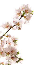 picture of cherry blossoms  - Branch with pink cherry blossoms isolated on white background - JPG