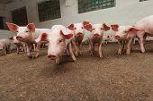 Schweinefarm