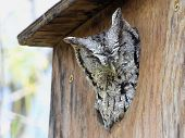 Eastern Screech-owl in South Texas
