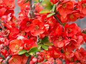 Flower Of Quince
