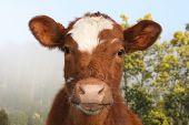 A Friendly National Park Cow