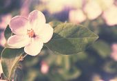Blooming Quince,tinted