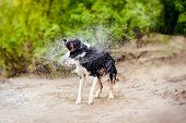 stock photo of spayed  - Funny Border Collie dog shakes off the water in summer - JPG