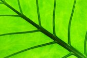 Alocasia Leaf With Backlight
