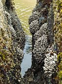 Barnacles On Tidepool Rocks At The Beach At Ecola State Park Oregon Usa