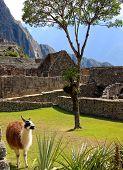 Alpaca In Central America