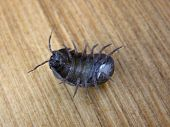 Pill bug - roly poly
